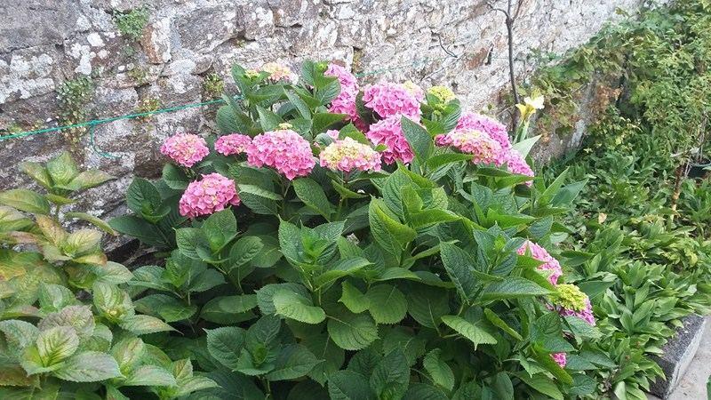 Hortensias dans le jardin clos de La Masana